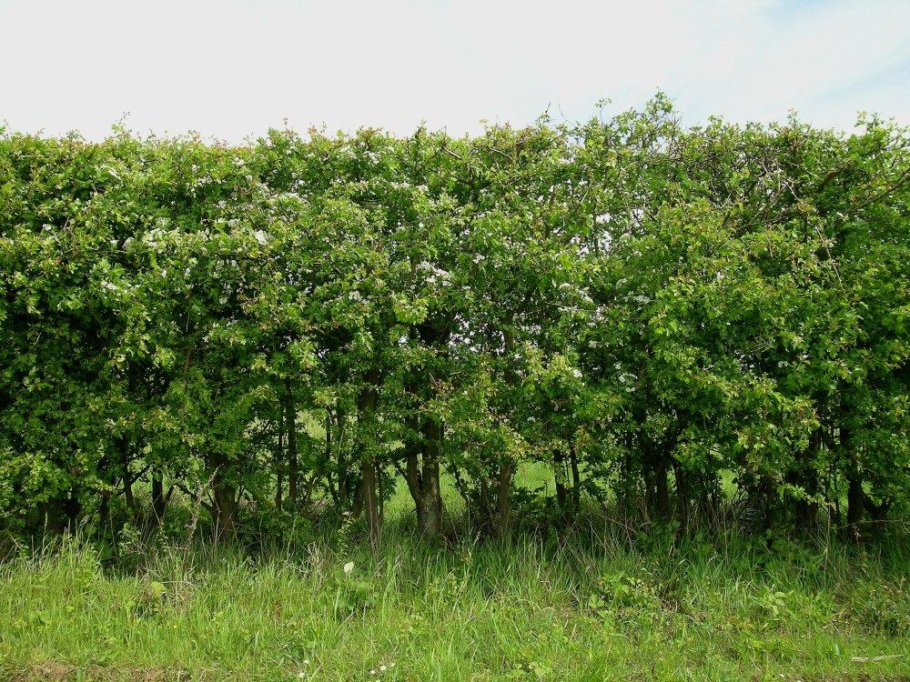 Hedgerow Primrose Walk - Green News Ireland