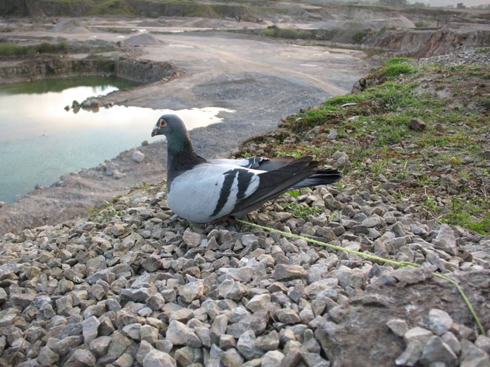 Pigeon Bait at Cappagh Quarry
