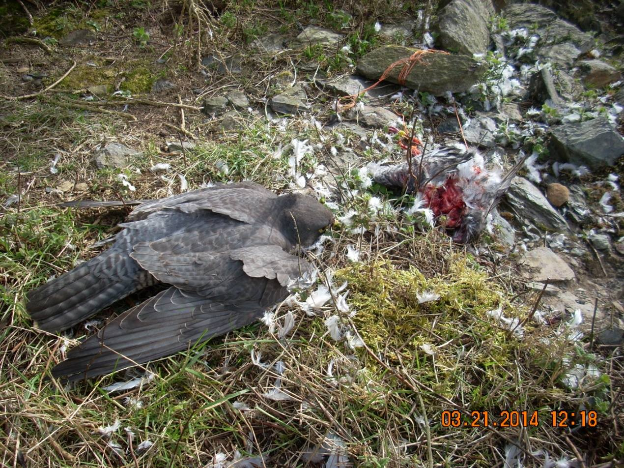 Dead male Peregrine Falcon next to fresh poison pigeon bait at Carroll's Cross Quarry
