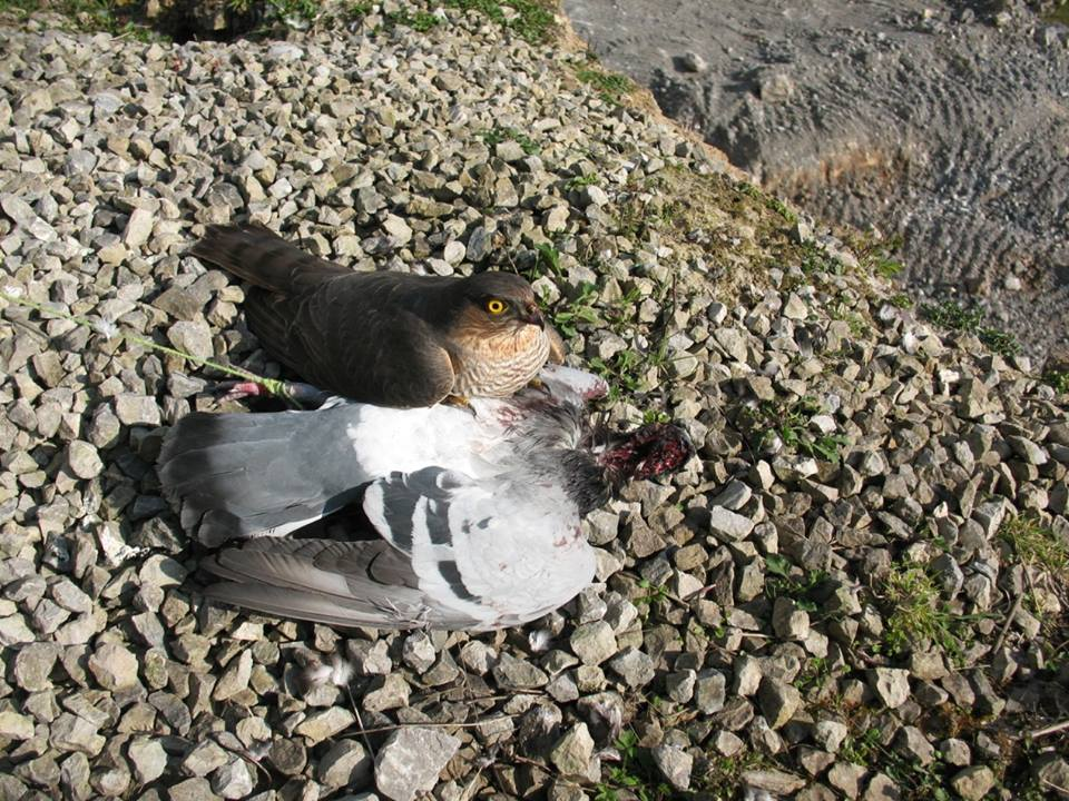 Stupefied Sparrowhawk after killing poisoned pigeon at Cappagh. It died a short time later.