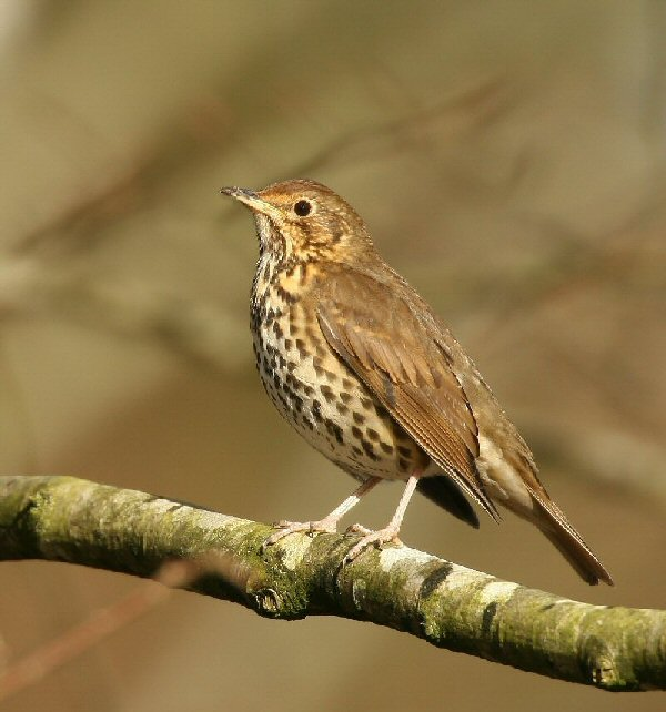 Know your birdsong click through our quick guide to the calls of song thrush publicscrutiny Images