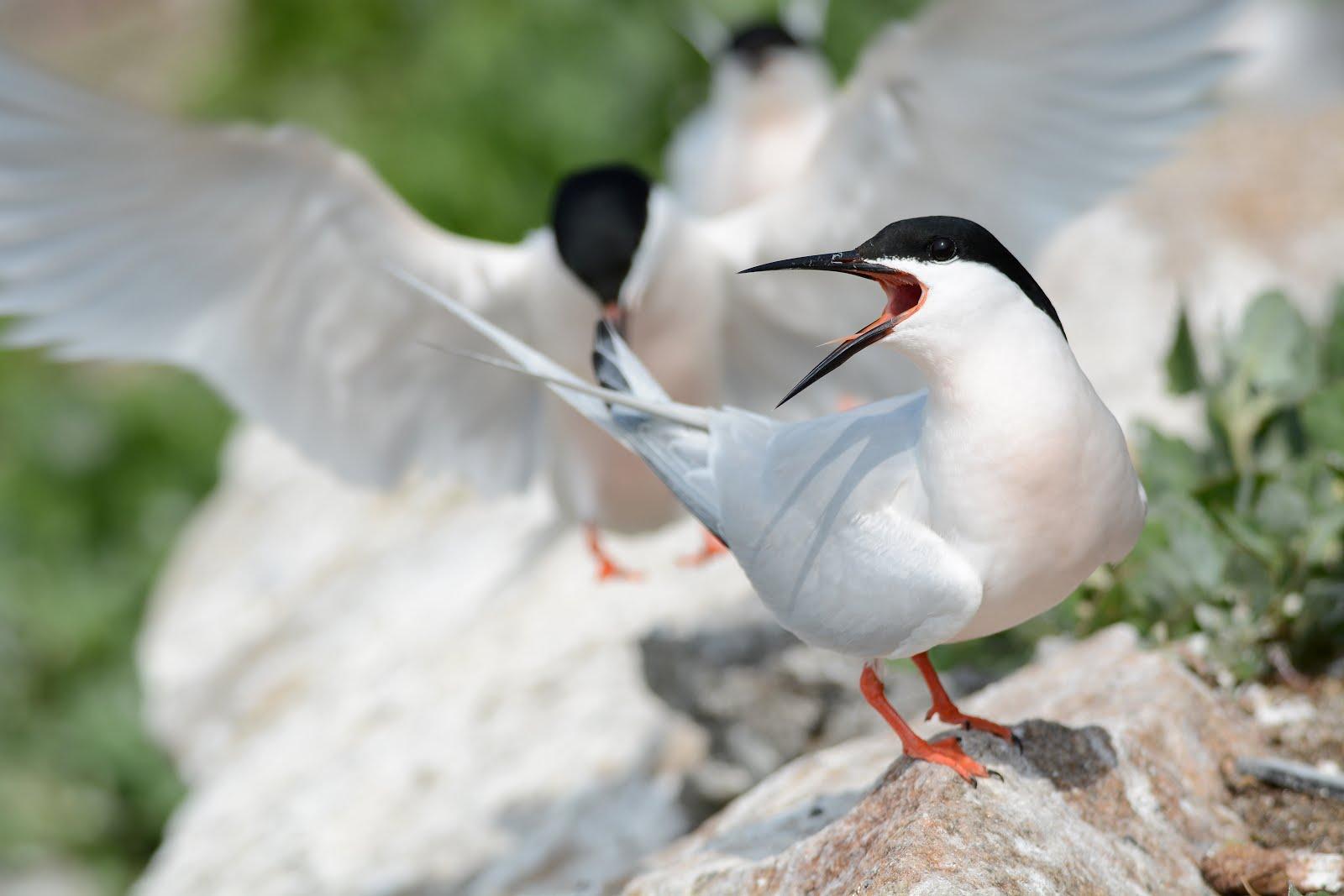 Roseate tern - photo#15