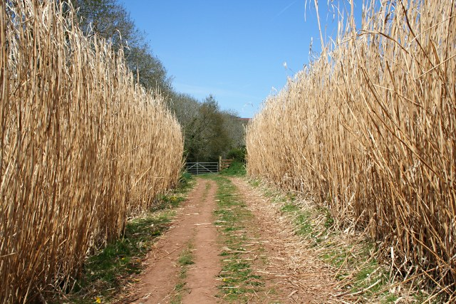 Miscanthus growing int he UK photo: Tony Atkin