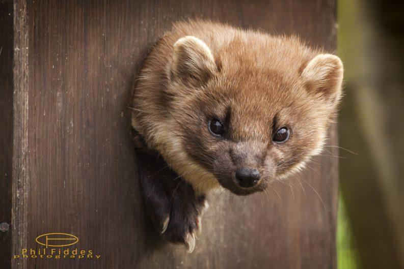 Pine Marten Photo: Phil Fiddes