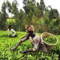 Tea pickers in Kenya's Mount Kenya region, female farmers climate change