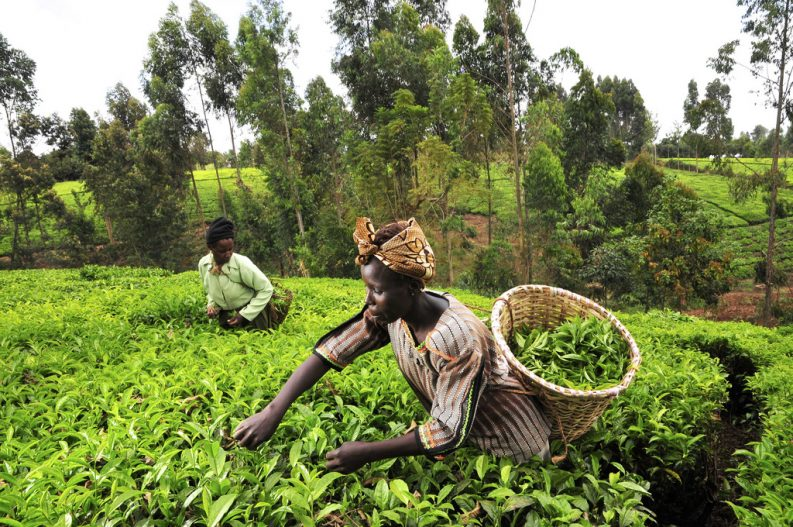 Tea pickers in Kenya's Mount Kenya region, female farmers climate change