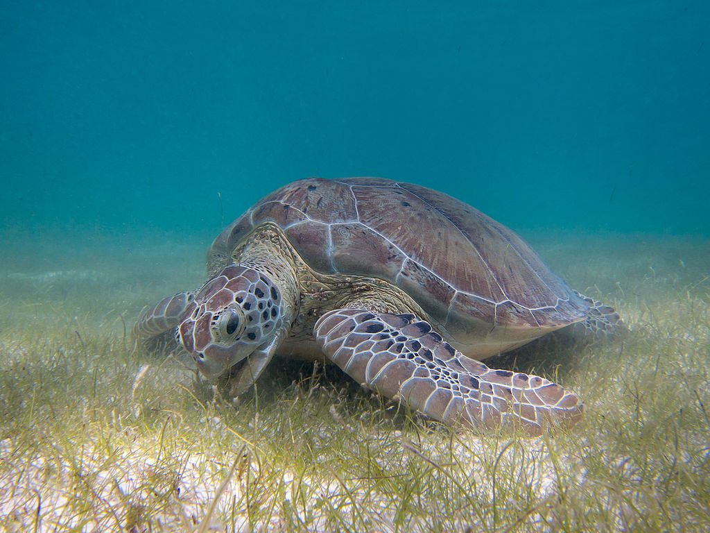 Green Sea Turtle grazing seagrass at Akumal bay. Photo: P.Lindgren