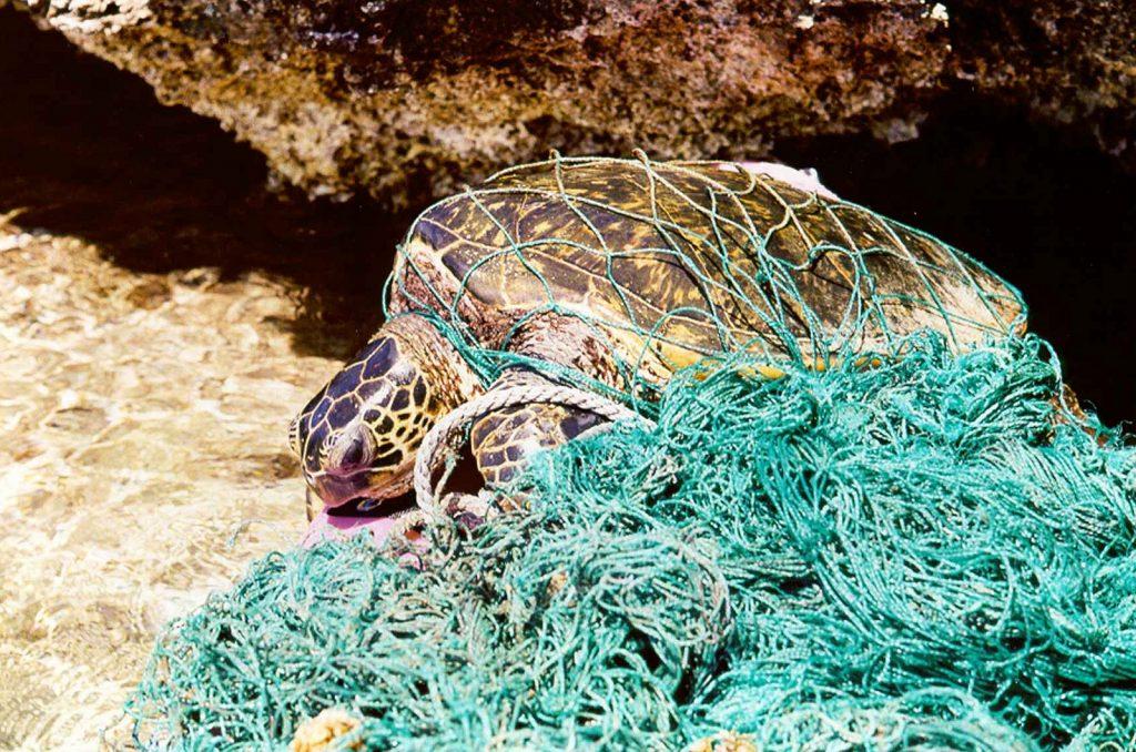 Entangled green sea turtle Photo: NOAA PIFSC