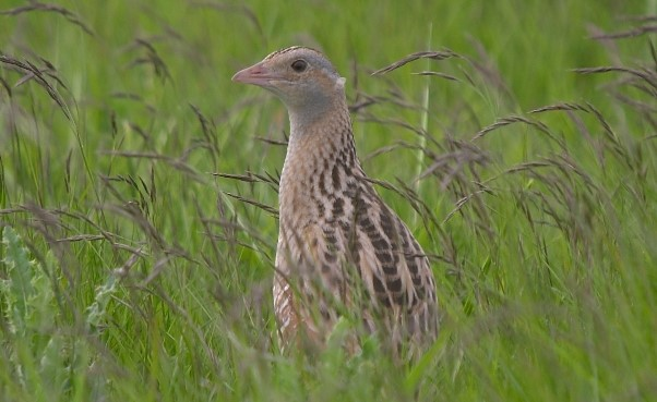 Corncrake Crex crex, Ballaugh Curragh, Isle of Man Photo: Isle of Man Government