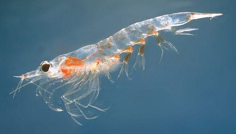 Northern krill Photo: Oystein Paulsen