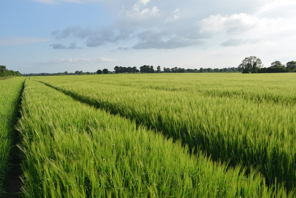Wheat field in Co. Meath, Ireland Photo: Peter Mooney