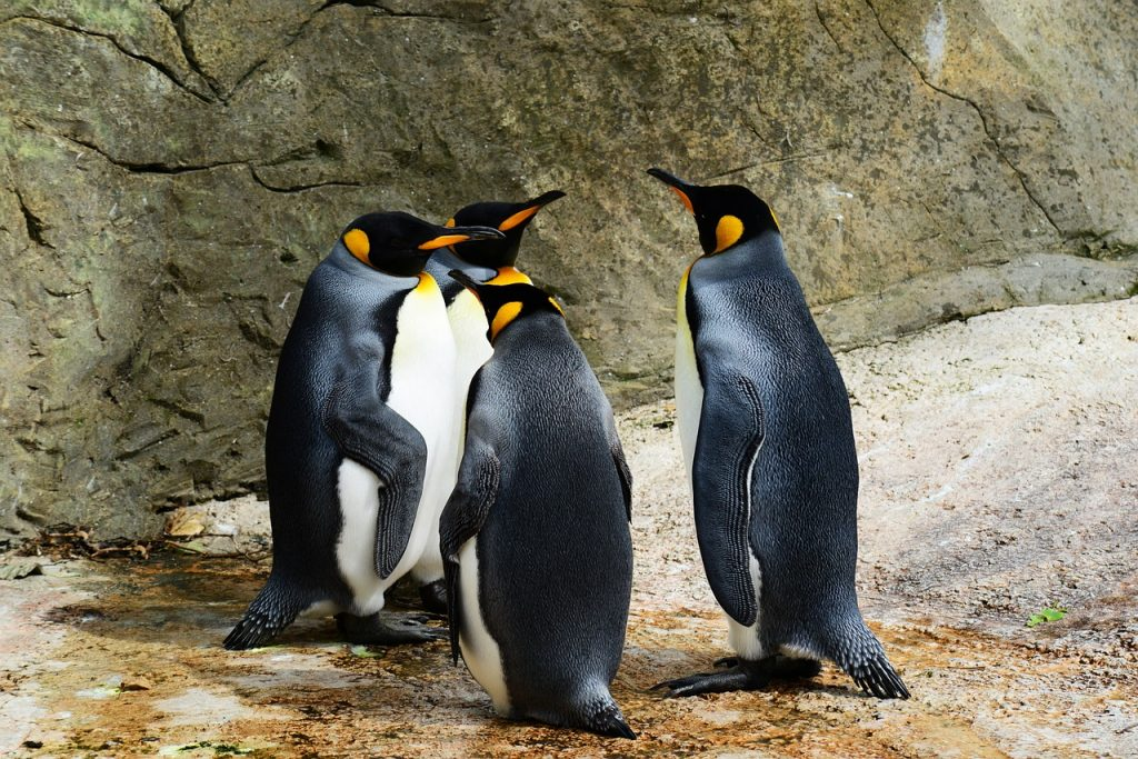 King Penguins Photo: PollyDot