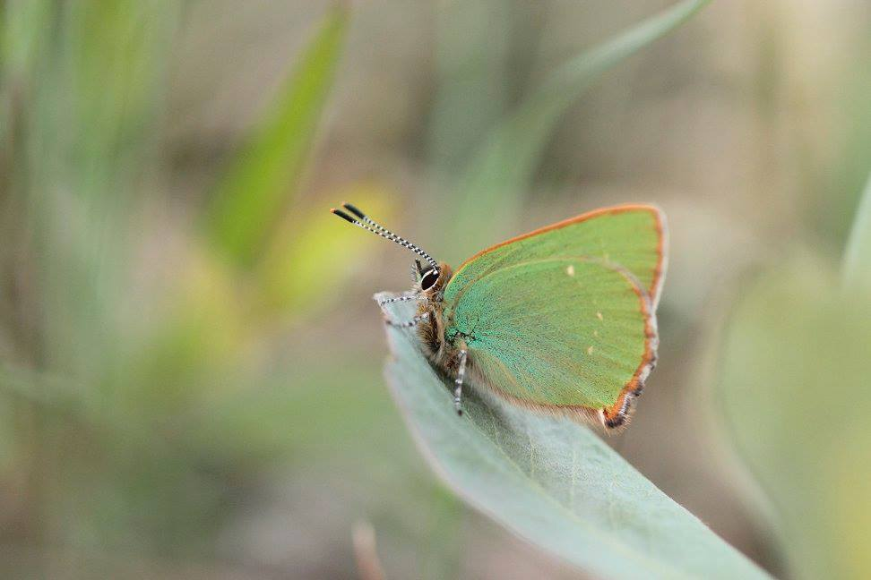 Green Hairstreak Butterfly Photo: Cathal Forkan