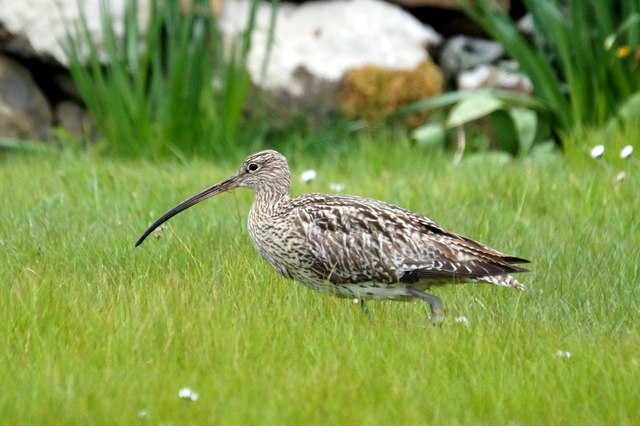 Eurasian Curlew (Numenius arquata) Photo: Mike Pennington