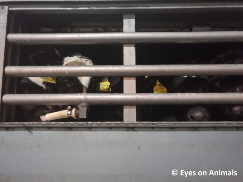 Inside one of the trucks transporting calves to The Netherlands Photo: Eyes of Animals