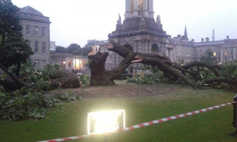 Trinity TCD Maple Fallen Photo: TCD
