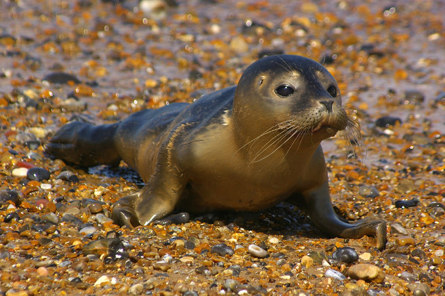 Young Common Seal on beach Photo; Ian Capper