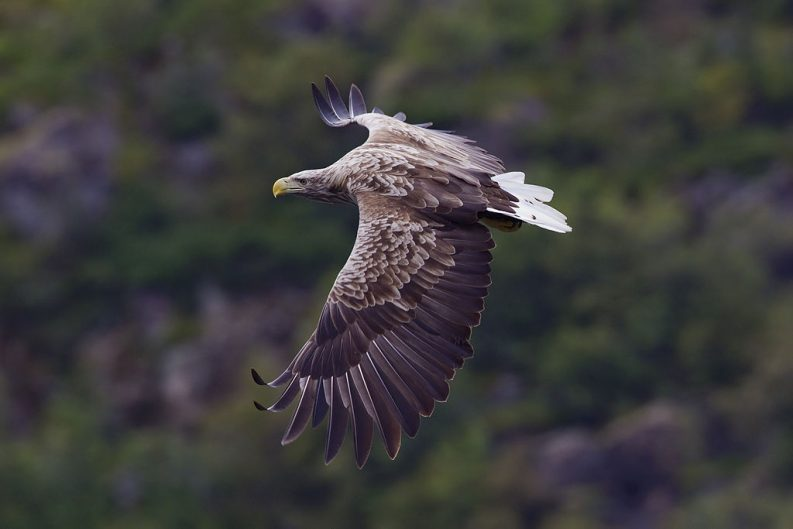 White-tailed eagle in Svolvaer, Norway Photo: Yathin S Krishnappa