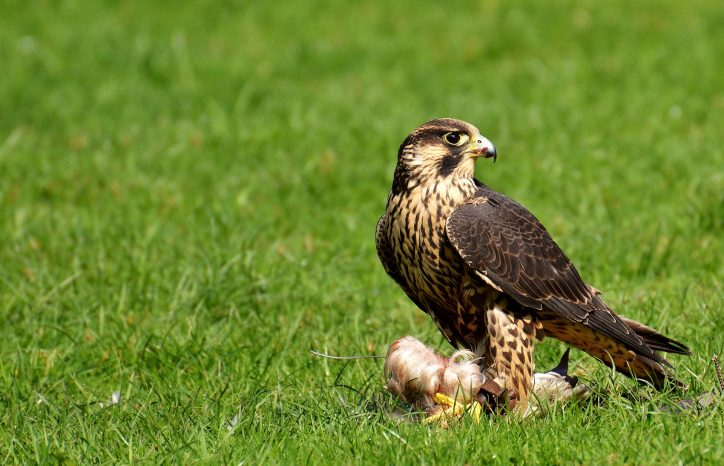 Peregrine Falcon Photo Alexas_Fotos/ Pixabay