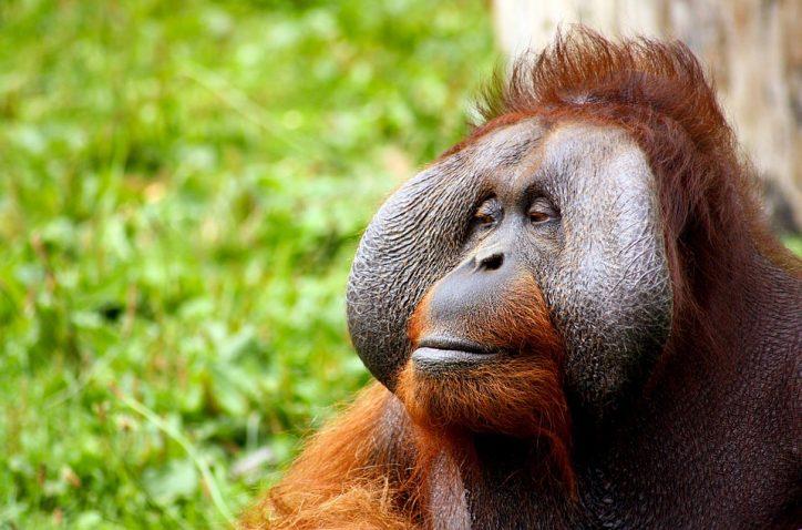 Orangutan. Photo: Pixabay