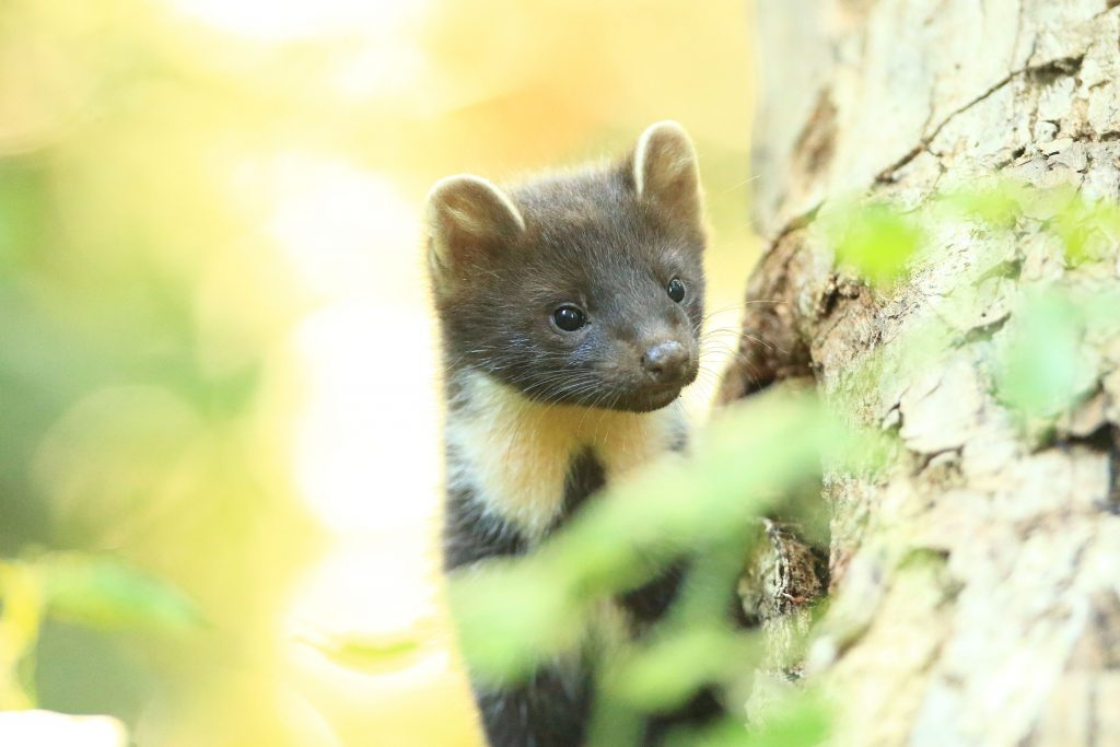 Pine Marten Photo: Ronald Surgenor