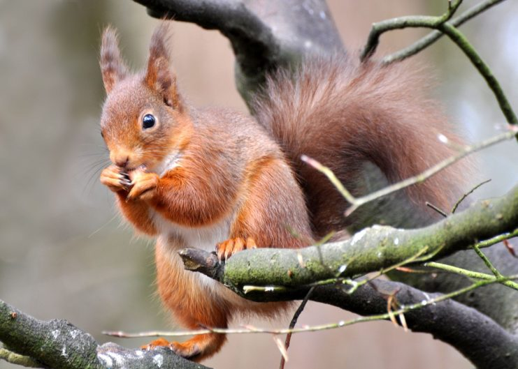 Red squirrel. Photo: Joe Kilroy
