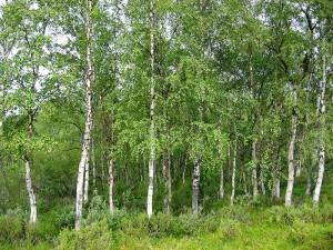 800px-Betula_pendula_Finland