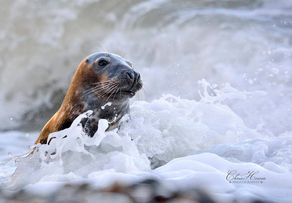 Seal by Chris Howes