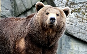 brown-bear-