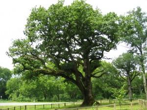 p oak