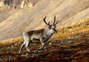 reindeeer
