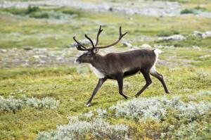 reindeeer 2