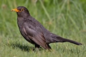 Common_Blackbird