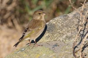 greenfinch_ireland_L6A2603
