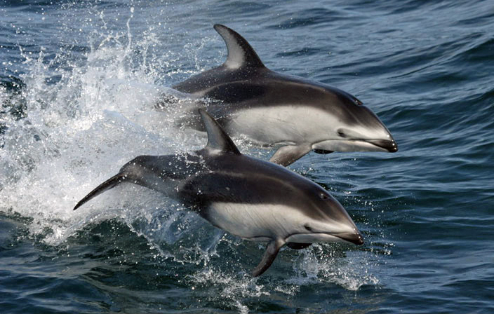 White-wided Dolphin Photo: NMFS Southwest Fisheries Science Center (NOAA)