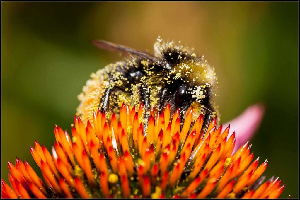 Bumble Bee covered with Pollen Photo: Smudge 9000