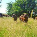 Cattle taking shade under trees during summer heatwave 2018 Photo: Sinead Moran