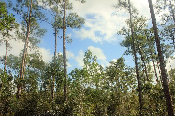 Pine forest habitat in the Everglades, Florida Photo: Yinan Chen