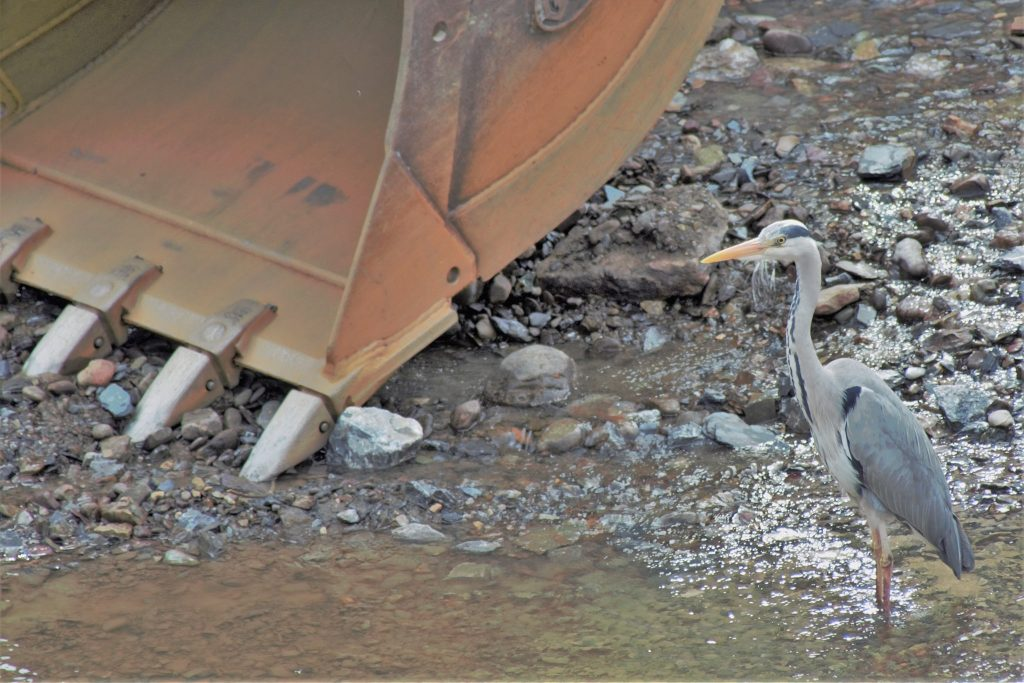 Heron standing beside dredger in the Bandon Photo: Ecofact