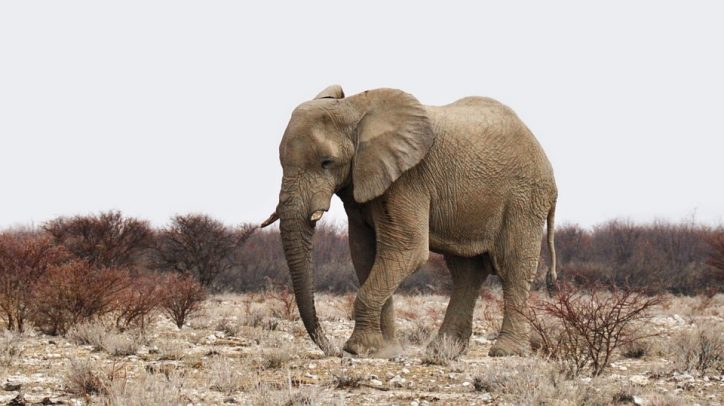 African elephant in dry land. Photo: Pixabay.