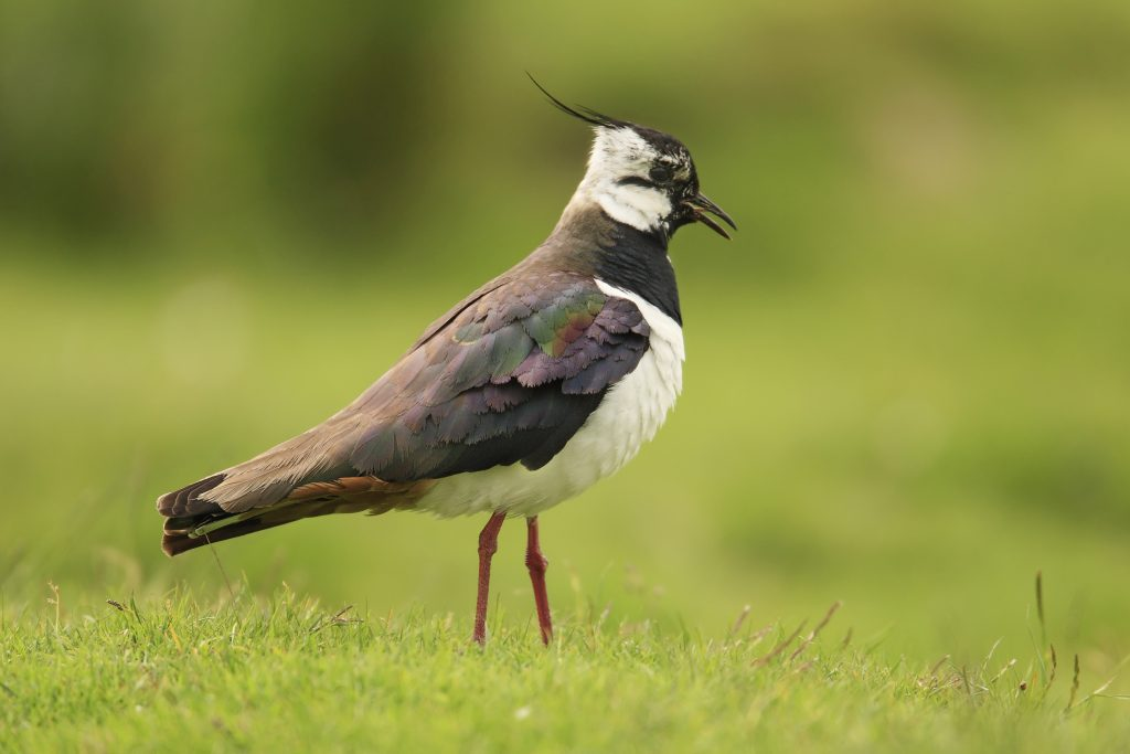 Lapwing Photo: Andrew Kelly