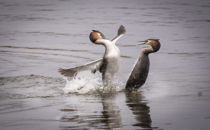 Overall Winner for 2019 is photo of Great Crested Grebes by Suzanne Behan