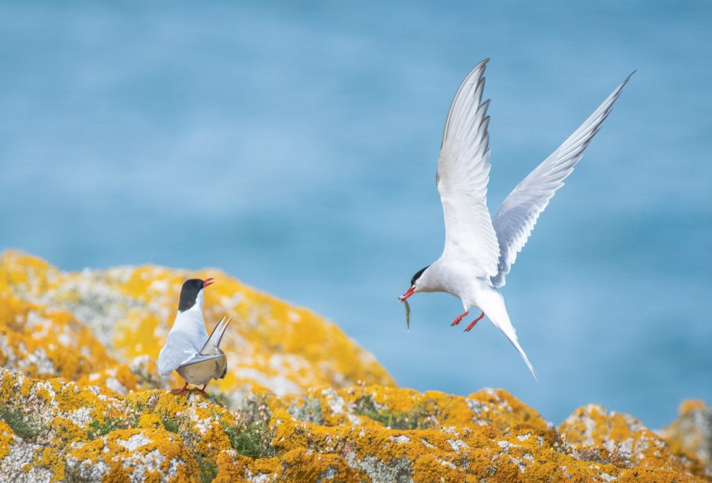 Arctic Tern on Dalkey Island Photo: Nick Blake