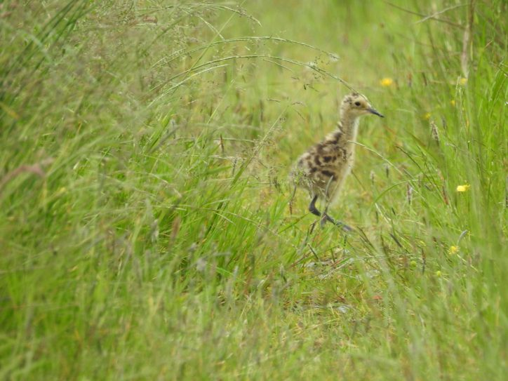 Five day old Curlew chick in Co Monaghan Photo: Joe Shannon