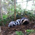 Mother Badger and Cubs Photo: Pat Wyse