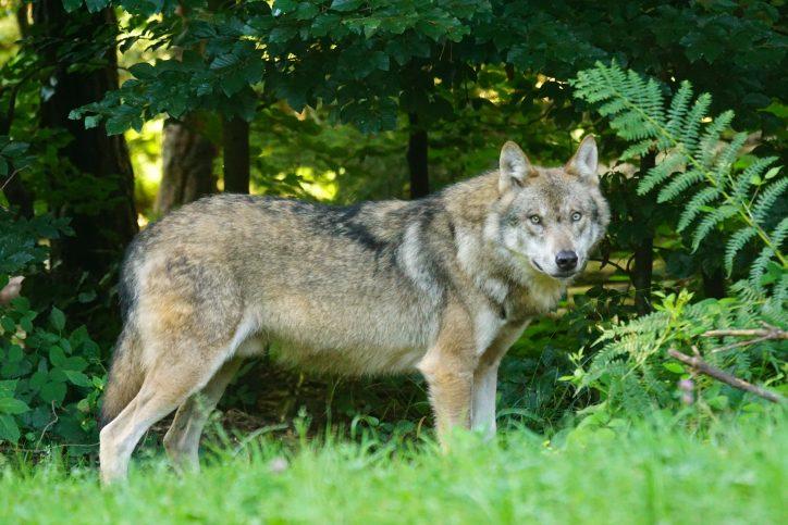 Brown Wolf Photo: Pixabay