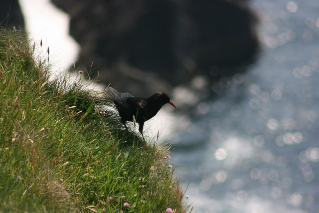 Chough, near Slea Head Photo: Adrian Platt