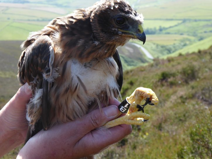 Mary the hen harrier being tagged as a chick Photo: RSPB